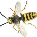 הרחקת צרעות או הרחקת דבורים מהבית