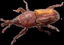 חדקונית האורז תמונה לזיהוי החרק
