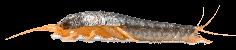 הדברת דג הכסף