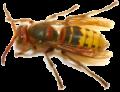 הדברת דבורים וצרעות בבית או בגינה