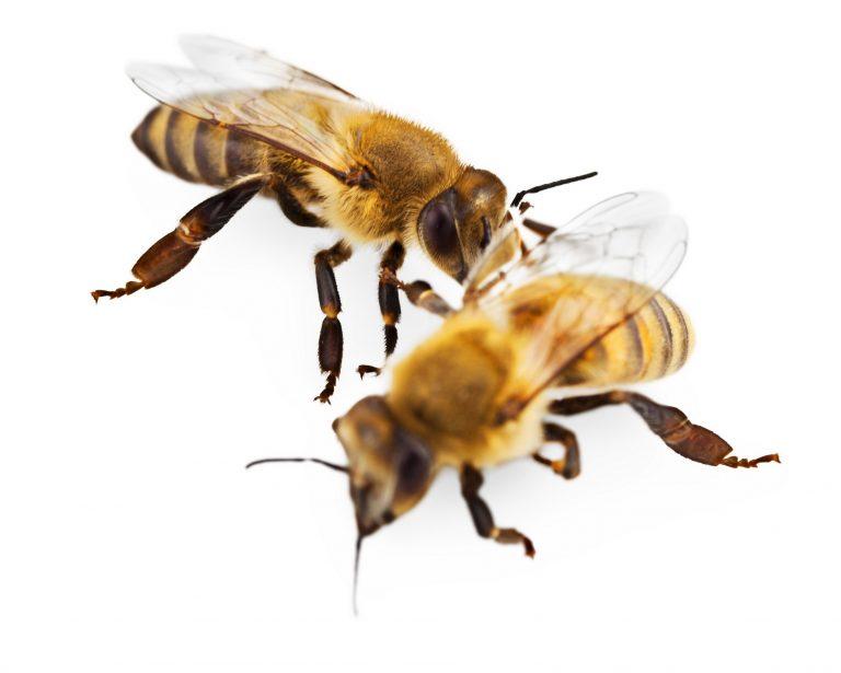 דבורת הדבש מצויה - תמונה לזיהוי