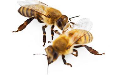זיהוי חרקים – דבורת הדבש